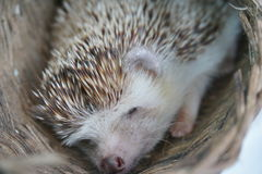 Cute hedgehog sleep in basket. The cute hedgehog sleep in the basket in a daytime Stock Photo