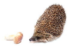 Cute hedgehog smelling mushroom Royalty Free Stock Image