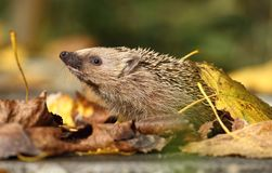 Cute hedgehog sniffing Stock Images