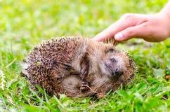 Cute hedgehog is on summer meadow Stock Photos