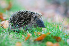 Cute hedgehog walks in a meadow Stock Photography
