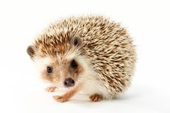 Cute Hedgehog on White stock photography
