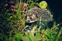 Cute hedgehog who sits in a Shoe in the evening on the street royalty free stock images