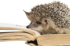 Cute hedgehogs read book isolate white Stock Photos