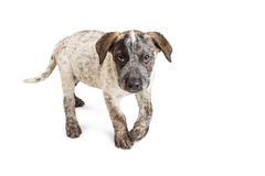 Cute Heeler Puppy Walking Forward on White. Cute eight-week-old Australian Cattle Dog puppy walking forward over a white background Stock Image