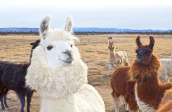 Cute Herd of Oregon Llamas Stock Photo