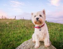 Cute high key portrait of a west highland white terrier dog at d. Usk sitting on a rock in a field in New Zealand, NZ stock photo