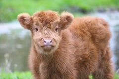 Cute Highland calf. Close-up of a cute Highland calf stock photo