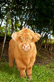 Cute highland cattle calf Stock Image