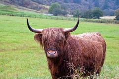 Cute Highland Cow. A cute but very wet highland cows standing alone in a field Royalty Free Stock Images