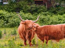 Cute highland cows grazing on the farm royalty free stock images