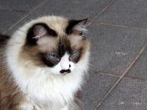 Cute himalayan cat. In the backyard royalty free stock photos