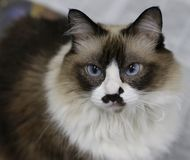 Cute himalayan cat. Looking serious royalty free stock images