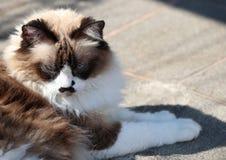 Cute himalayan cat. Outdoors stock photo