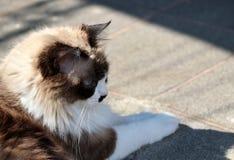 Cute himalayan cat. Outdoors stock images