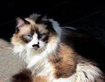 Cute himalayan cat. Sunbathing royalty free stock photos