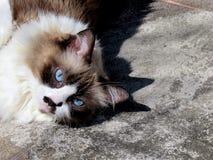 Cute himalayan cat. Sunbathing stock photography
