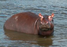 Cute Hippo Portrait. A little hippo looks at the camera while wading in the Nile river stock image