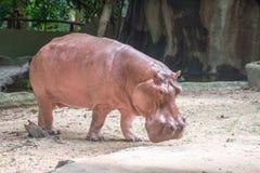 Cute hippopotamus in the zoo Stock Photos