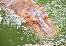 Cute of Hippopotamuses close up Stock Photo