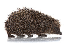 Cute hodgehog on white Royalty Free Stock Images