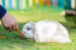 Cute holland lop rabbit Royalty Free Stock Photos