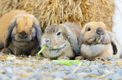 Cute holland lop rabbit Stock Images