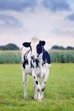 Cute Holstein-Friesian calf in a green Dutch meadow Stock Photo