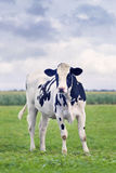 Cute Holstein-Friesian calf in a green Dutch meadow. With a corn field on the background Stock Photo