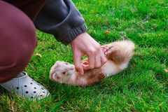 Boy playing with beige ferret laying on the green grass in the garden, park. Home pet care and joy concept. Selective focus. Copy space stock image