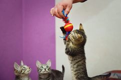Cute home kitten playing with toys stock photos