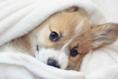Homemade corgi puppy lies in a white fluffy blanket funny sticking out his face. Cute homemade corgi puppy lies in a white fluffy blanket funny sticking out his royalty free stock photography