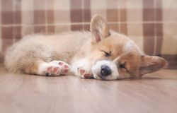 Cute homemade puppy of corgi sleeps peacefully on wooden floor in the house stretched out small paws stock photo