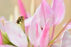 Cute honey bee Royalty Free Stock Image