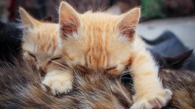 Two small striped orange tabby kittens sleeping on top of tortoiseshell mother cat. Cute horizontal photo of two small striped orange tabby kittens sleeping on royalty free stock photos