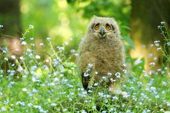 Cute horned owl in flowers. Cute young horned owl Bubo bubo in spring stock image