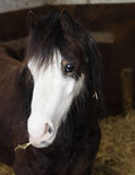 Cute horse. A cute welsh pony eating hay Royalty Free Stock Photography
