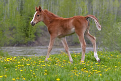 Cute Horse Foal Royalty Free Stock Images
