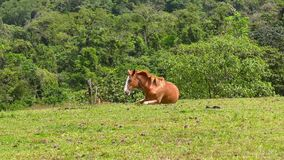 Cute horse lies on the field. Young horse lying in the grass in a green meadow. Costa Rica stock video