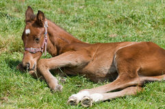 Cute Horse Resting Stock Photography