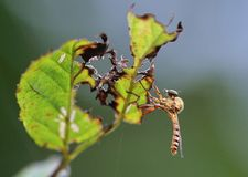 A cute horsefly. This horsefly is hunchbacked,it stopped on damaged leaves Stock Image