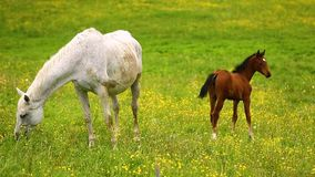 Cute horses on the meadow stock footage