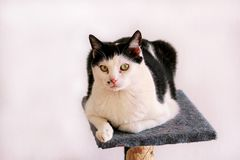 Cute house cat sits on a platform for a cat. Rest and enjoy living room. Pet animals. Domestic animals Stock Photography