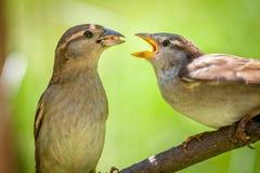 Cute House Finch couple. Feeding each other royalty free stock photos