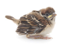 Cute House Sparrow Chick Stock Images