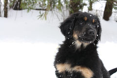 Cute hovawart puppy playing in snow royalty free stock image