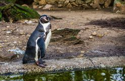 Cute humboldt penguin standing at the water side, Threatened bird with a vulnerable status, Aquatic bird from the pacific coast. A cute humboldt penguin standing stock photography