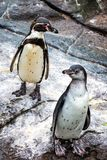 Cute Humboldt Penguins At Atlantic Sea Park In Alesund Royalty Free Stock Photos
