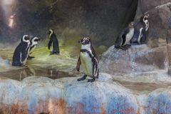 Cute Humboldt Penguins royalty free stock image