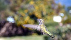 Cute humming bird. Cute flying humming bird with nature green background saw at Los Angeles Stock Photo